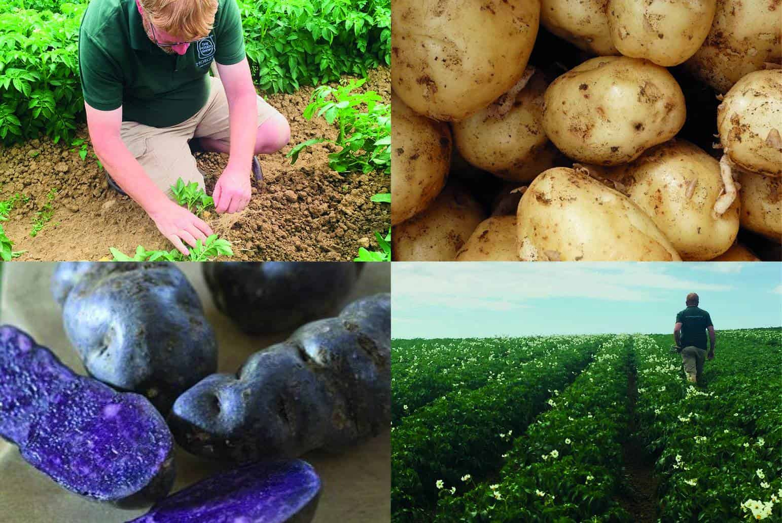 Potato varieties in Kent and Sussex farms